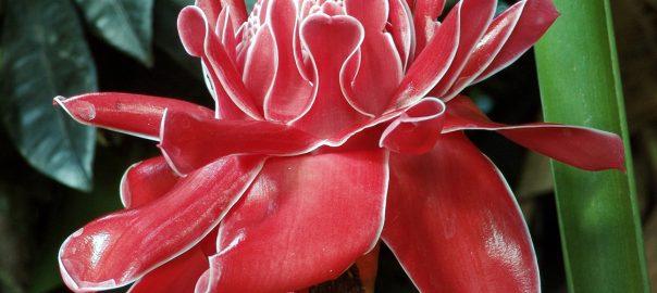 kerala-fiore-di-zenzero