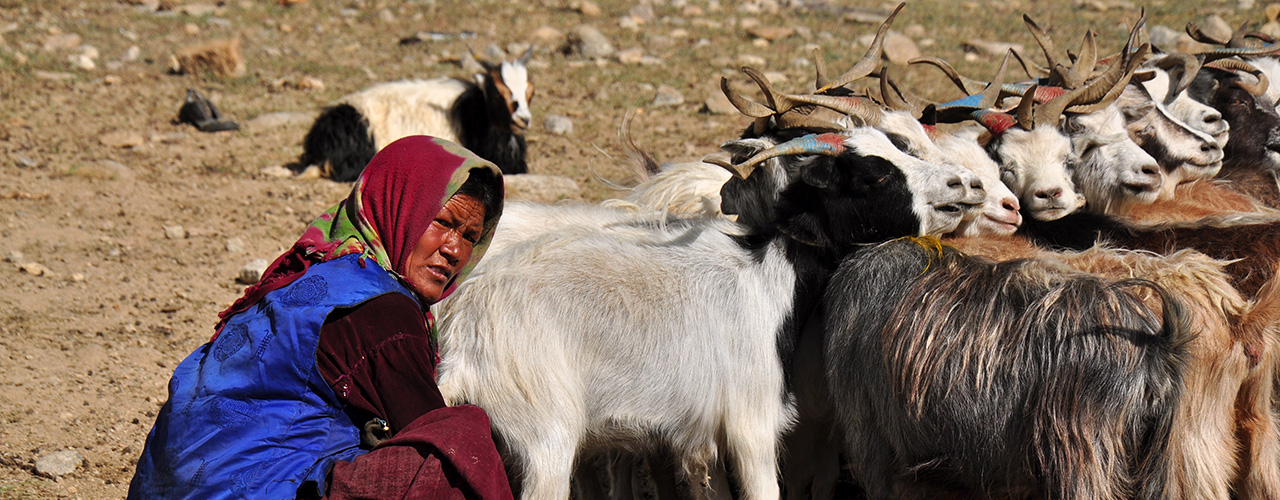 A Local Ladakhi Lady With Her Goat - Ibex Expeditions