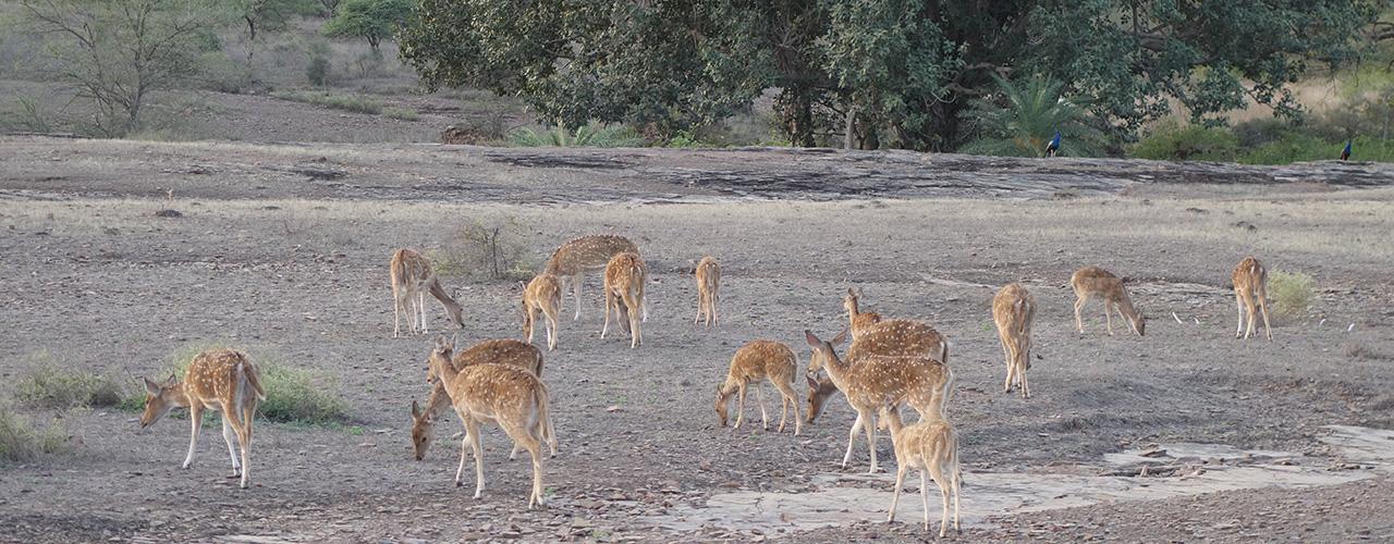 Ranthambore National Park Safari Tour- Ibex Expeditions