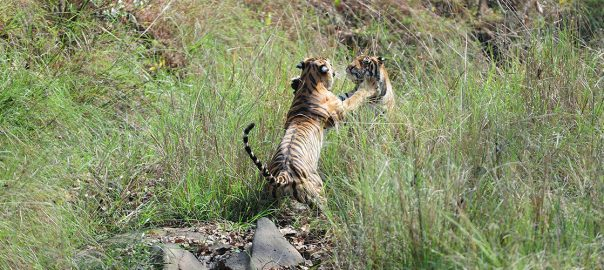 Tigers Meet In Kanha National Park India - Ibex Expeditions
