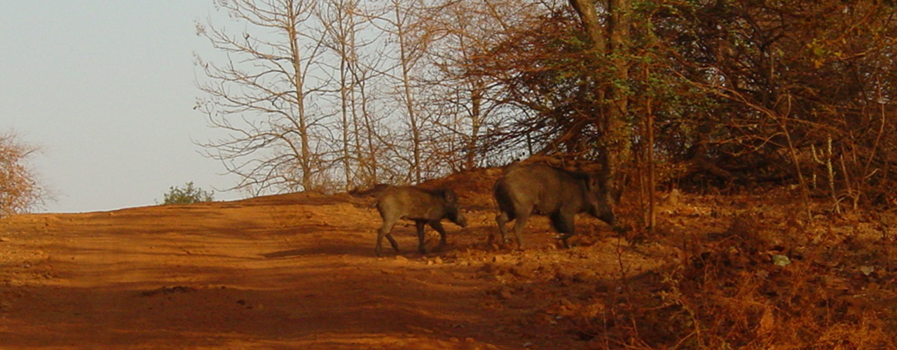 Gir Wild Boar - Ibex Expeditions