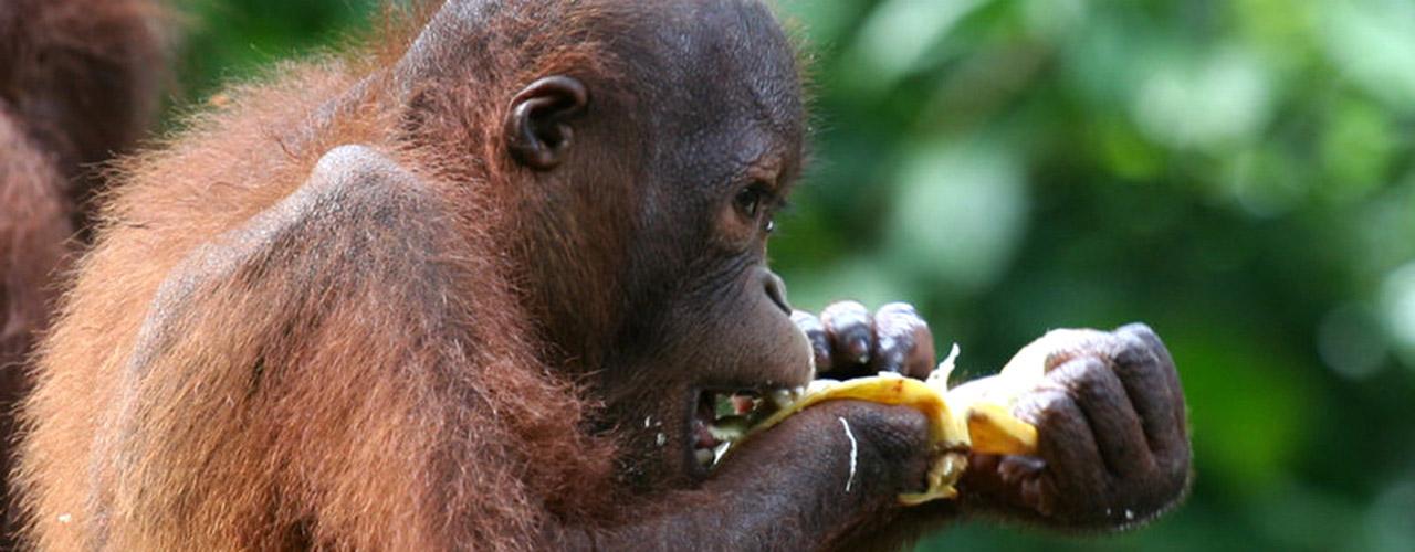 Borneo Wildlife Tours - Ibex Expeditions