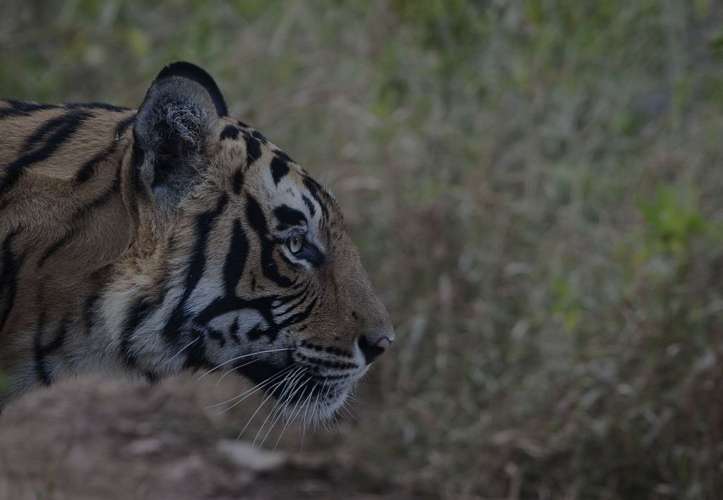Royal Bengal Tiger | Ibex Expeditions - Adventure Tours